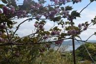 Nokogiri-Yama Blossom