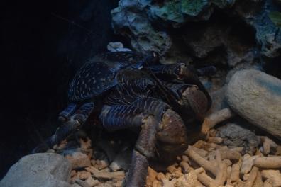 Okinawa Churaumi Aquarium Coconut Crab