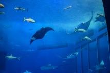 Okinawa Churaumi Aquarium Manta Rays