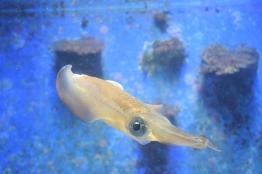 Okinawa Churaumi Aquarium Squid-like Thing