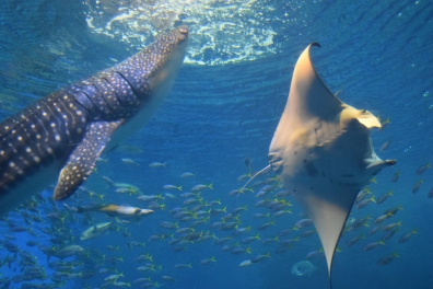 Okinawa Churaumi Aquarium Whale Shark & Manta Ray