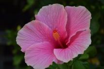 Okinawa Pink Flower