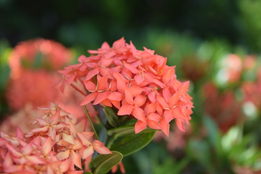 Okinawa Red Flower
