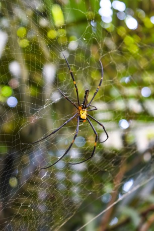 Okinawa Spider