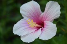 Okinawa White Flower