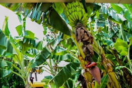 Okinawa World Bananas